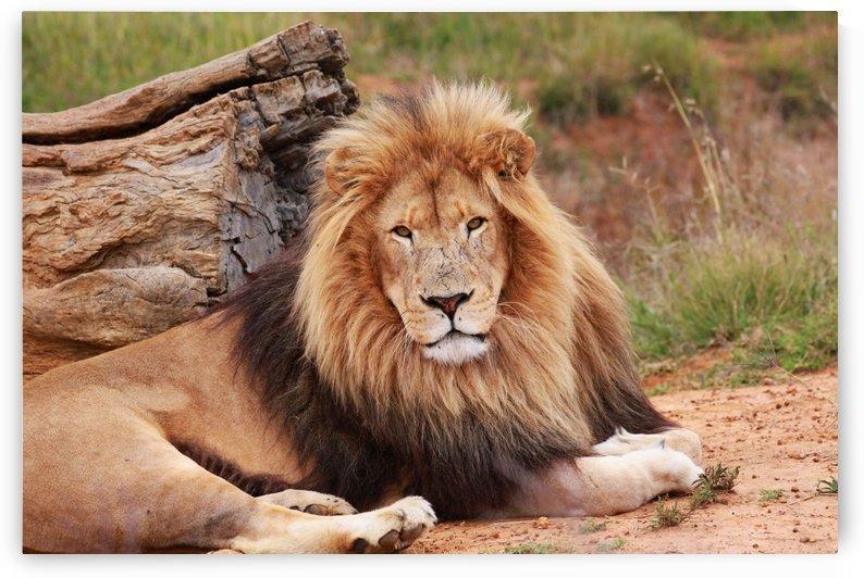 Lion Male Portrait 9029 by Thula-Photography