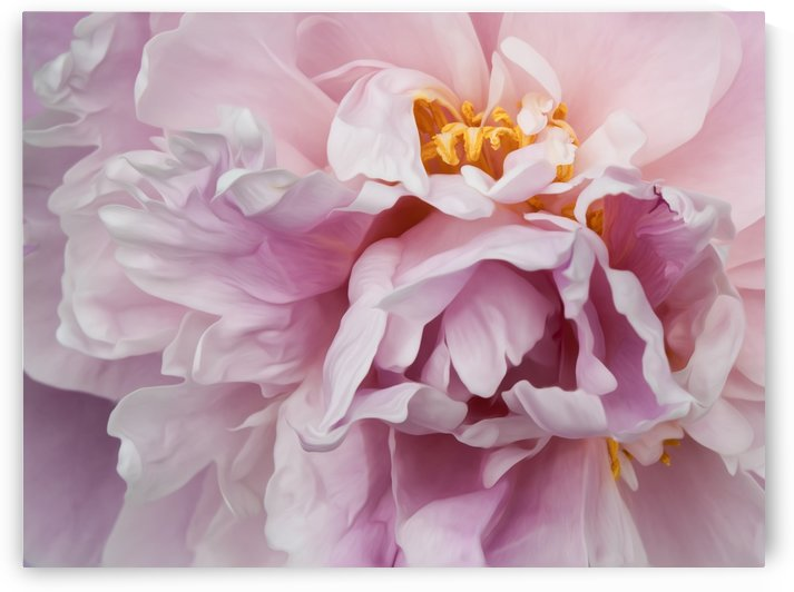 Rhapsody in Pink  by Sara Wilmot