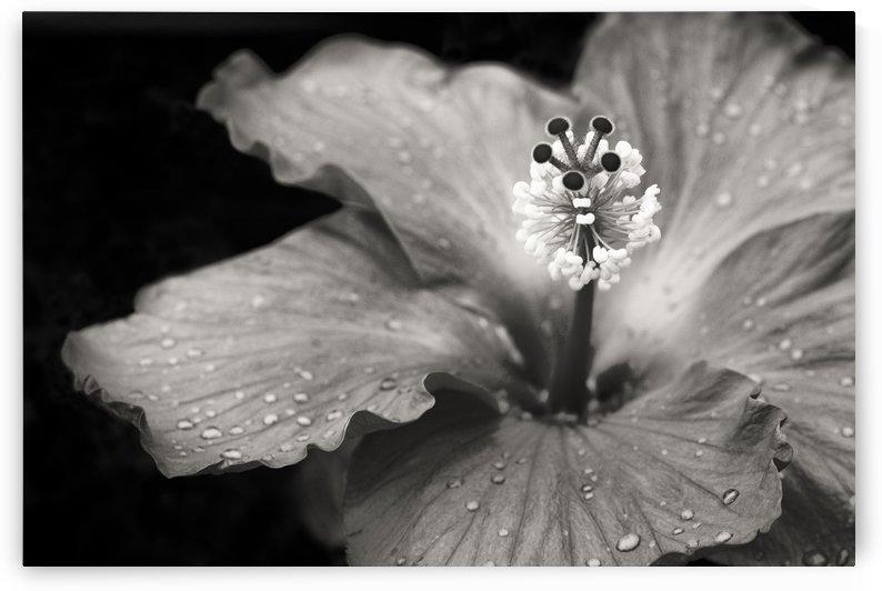 Hibiscus  by Sara Wilmot