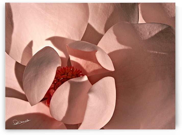 Salmon Magnolia by Peter Horrocks