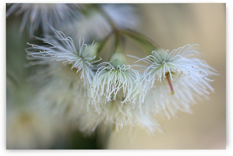 White Eucalyptus Flowers by Joy Watson