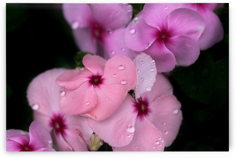 The water drops on the pink flower in the rainy season by Krit of Studio OMG