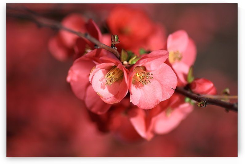 Flowering Quince Of Spring by Joy Watson