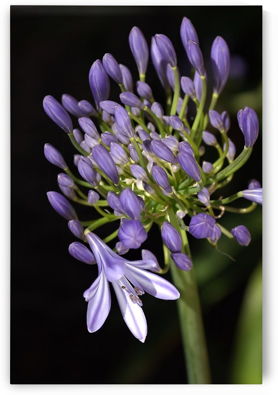 Agapanthus Flower and Buds by Joy Watson
