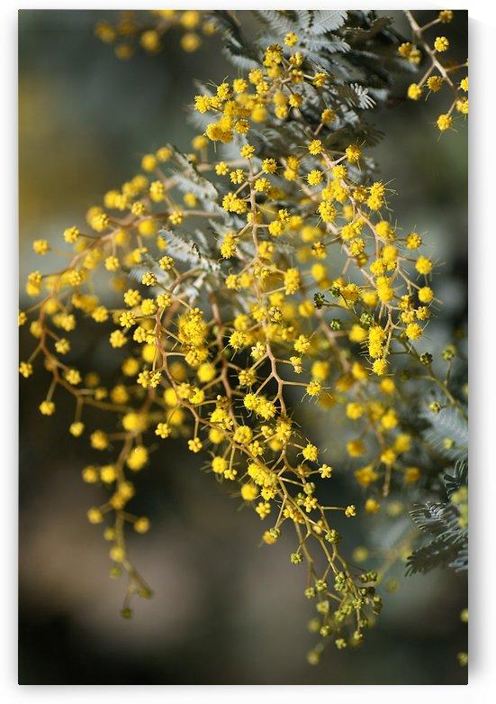 Wattle Trees Lace by Joy Watson