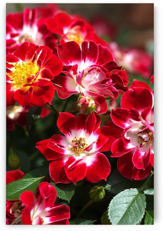 Carpet Roses by Joy Watson