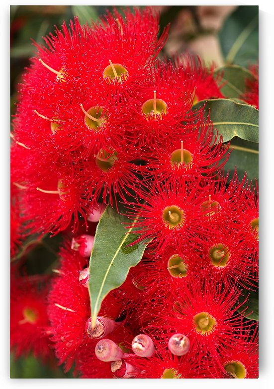 Red Eucalyptus Flowers by Joy Watson
