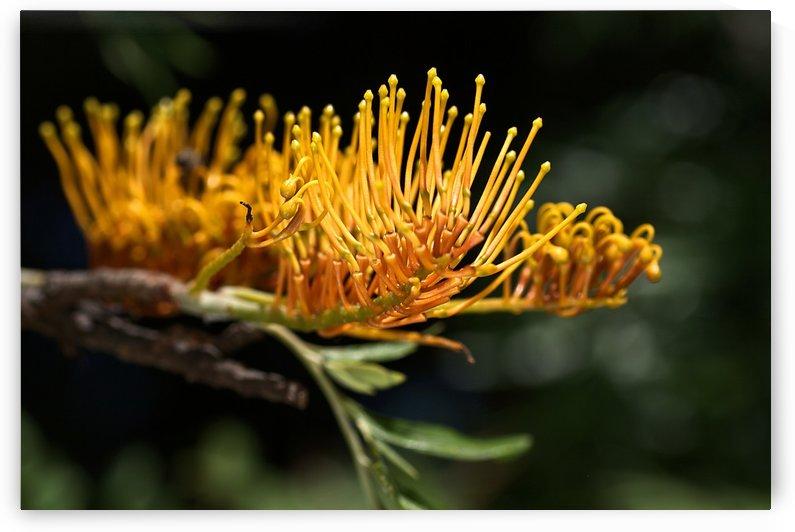 Tree Grevillea Robusta by Joy Watson