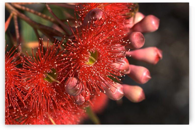 Eucalyptus Buds and Flowers by Joy Watson