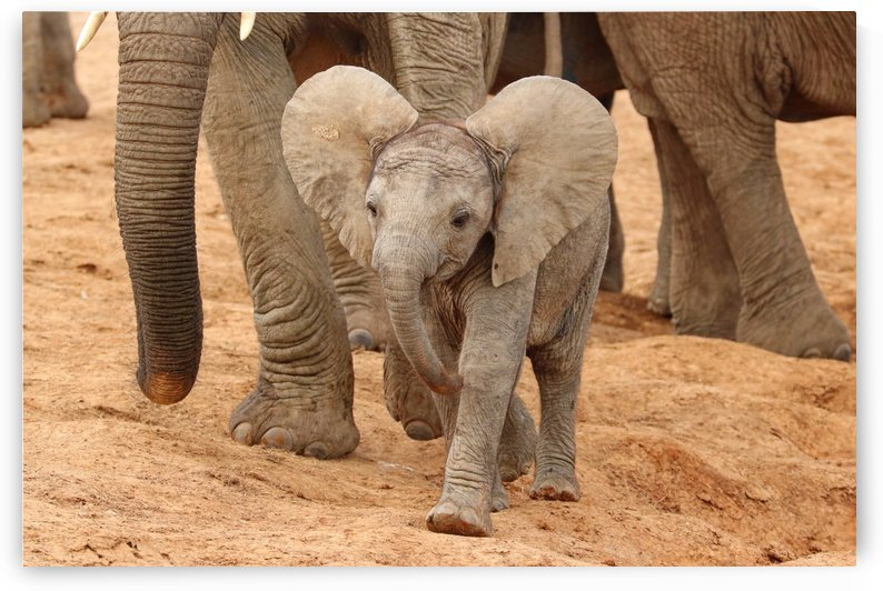 Happy Babyelephant 9638 by Thula-Photography