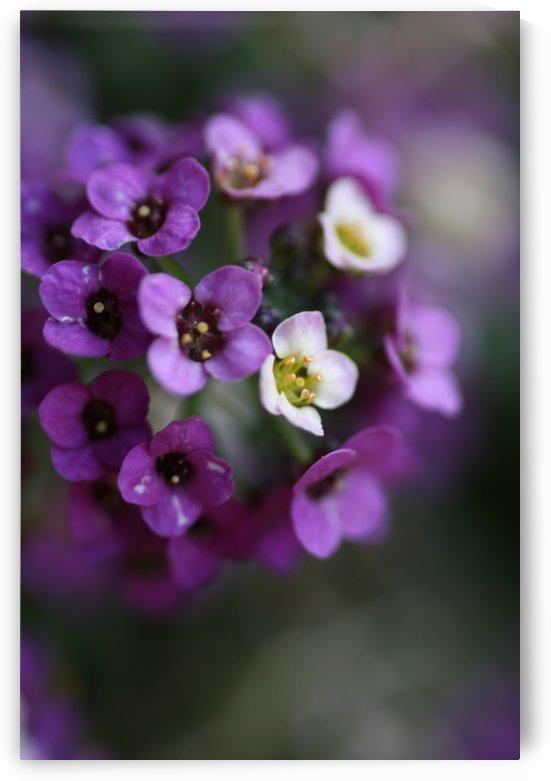 Allysium Flowers by Joy Watson