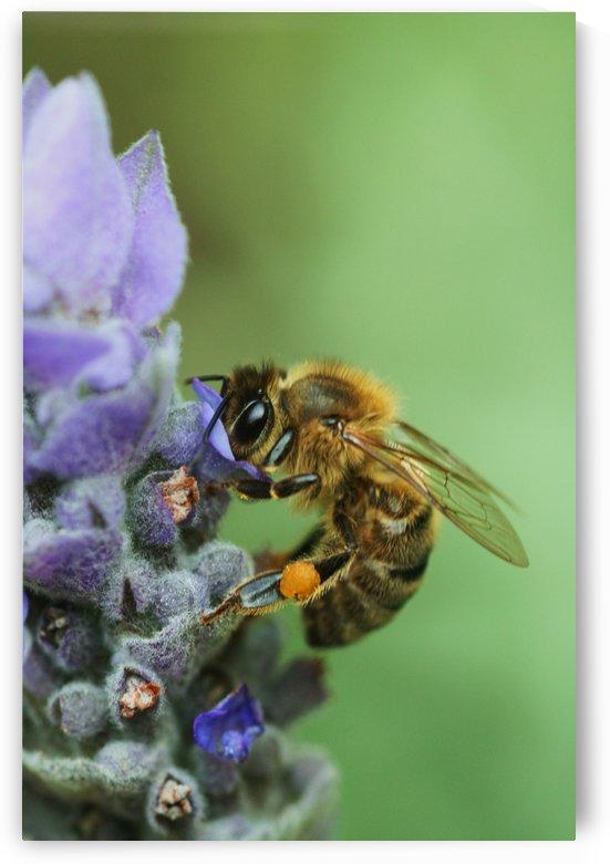 Lavender Bee by Joy Watson