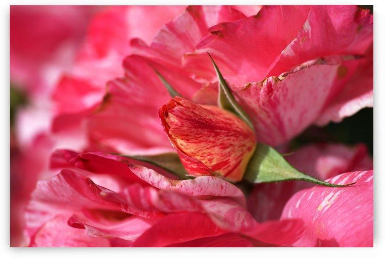 Rose Bud On My Petals by Joy Watson