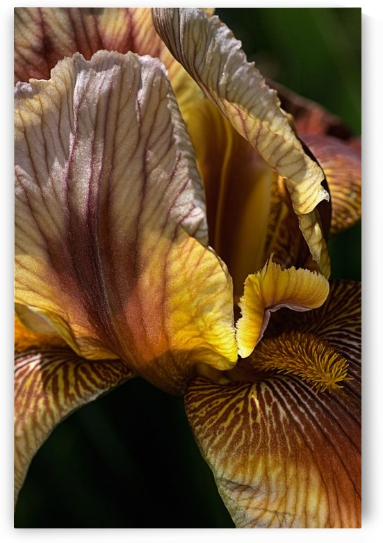 Iris Flower Of Golden by Joy Watson