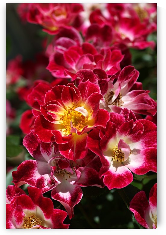 Carpet Roses Of Red by Joy Watson