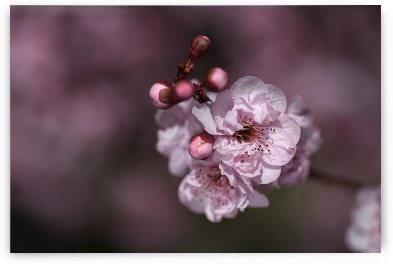 Pink Prunus Blossom  by Joy Watson