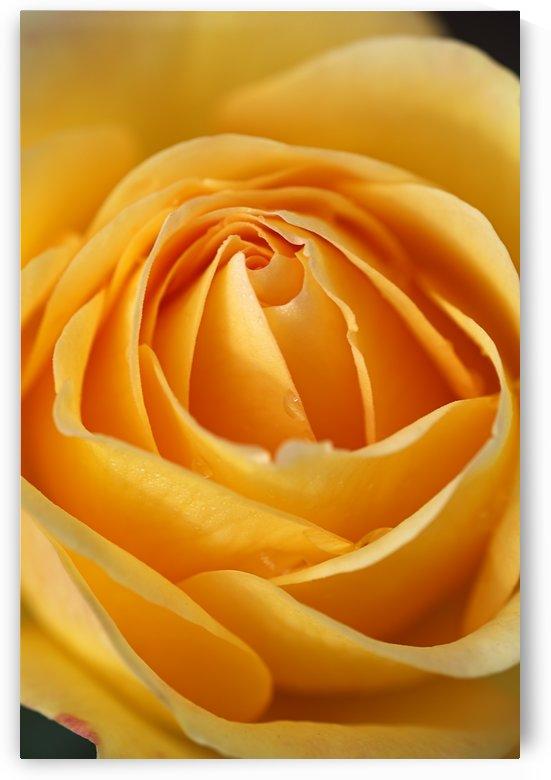 Orange Rose Heart by Joy Watson