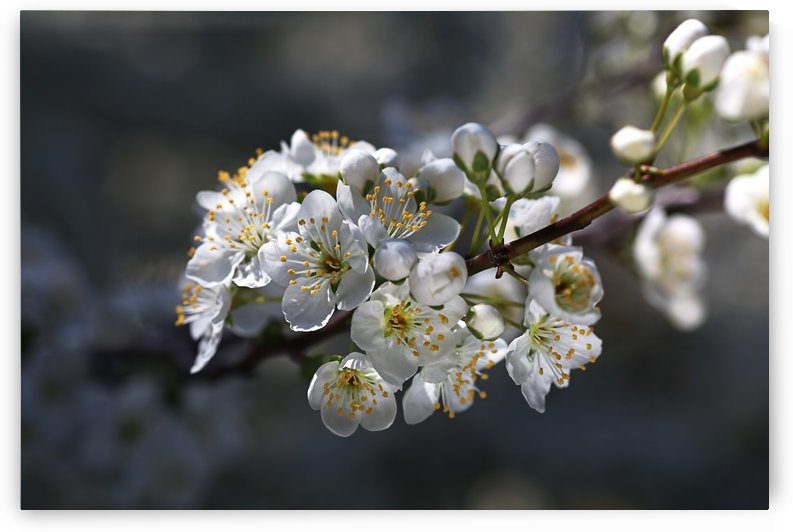 Gorgeous White Spring Blossom by Joy Watson