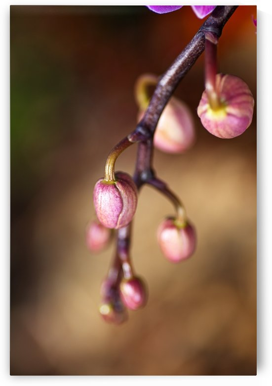 Orchid Buds by Joy Watson