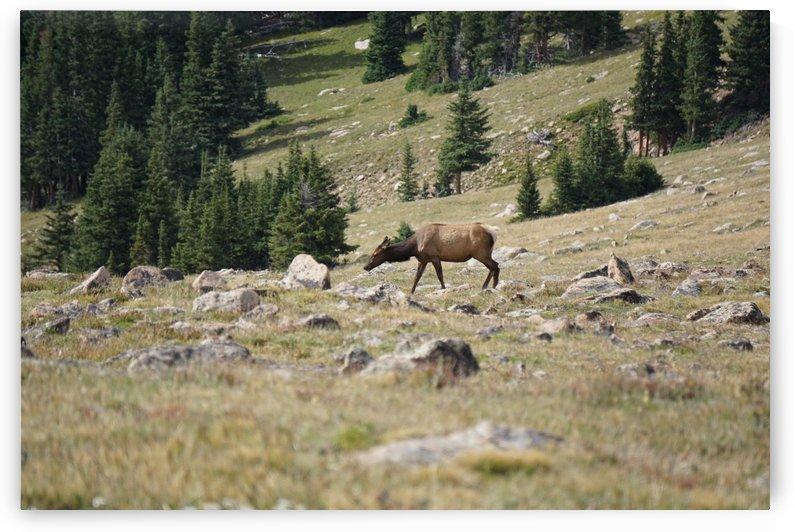 Lone Elk Cow by MHS
