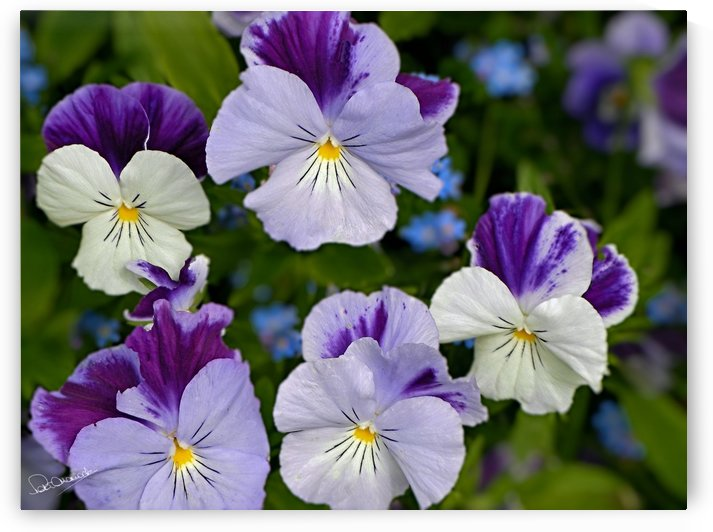 Monet Violas by Shadow and Form