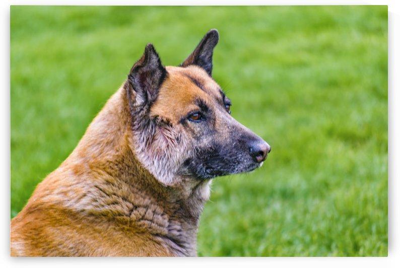German Sheepdog Portrait by Daniel Ferreia Leites Ciccarino