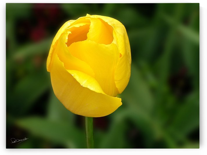 Yellow Tulip by Peter Horrocks