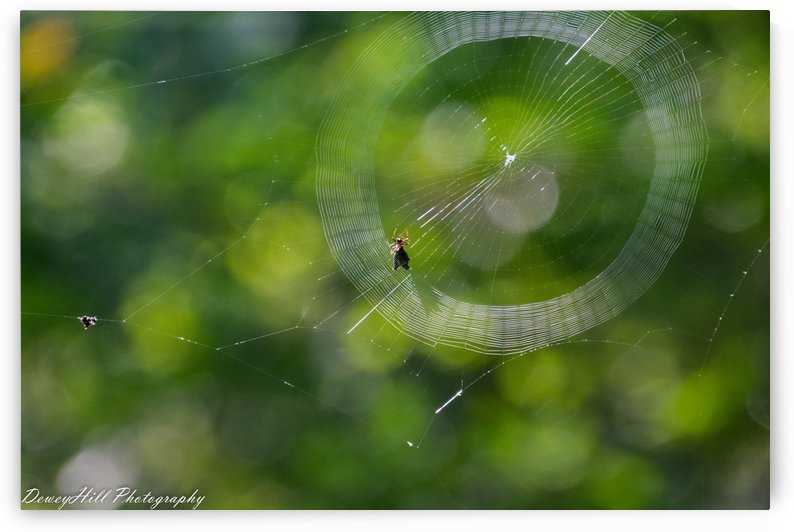 spider creating web by Michael Duhon