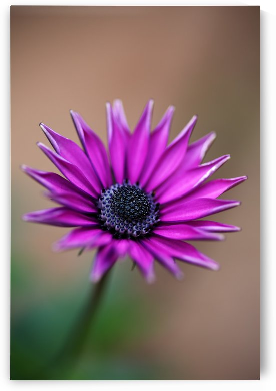 Purple Daisy by Joy Watson