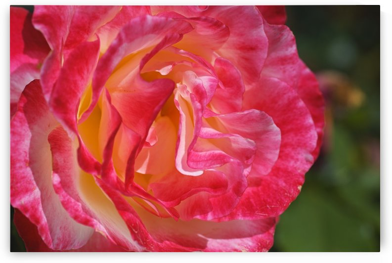 Rose With A Golden Glow by Joy Watson