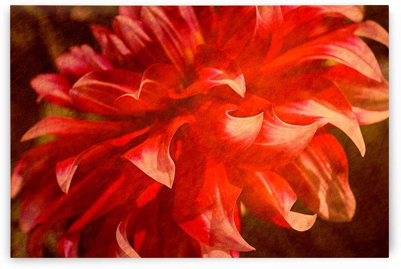 Rich In Red Dahlia by Joy Watson