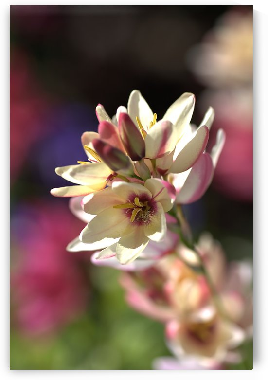 Ixia Flowers In Pink And Yellow by Joy Watson