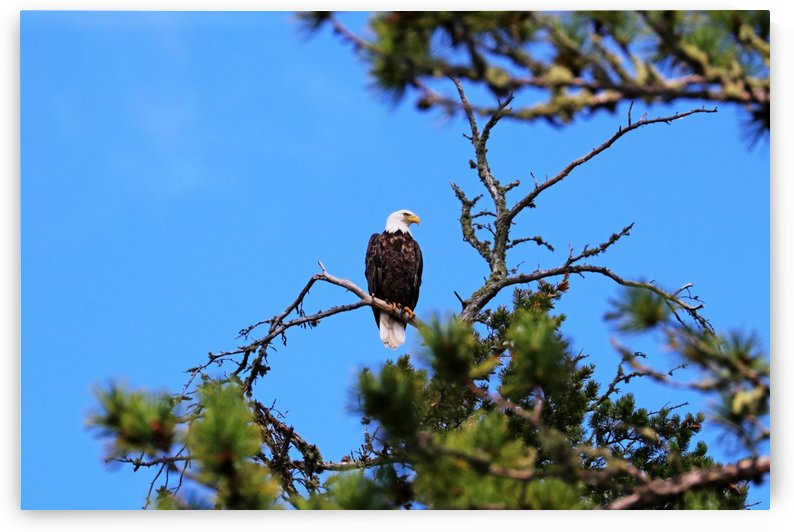 Bald Eagle Looking Regal by Deb Oppermann