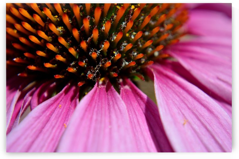 Purple Coneflower by Michelle K Wood