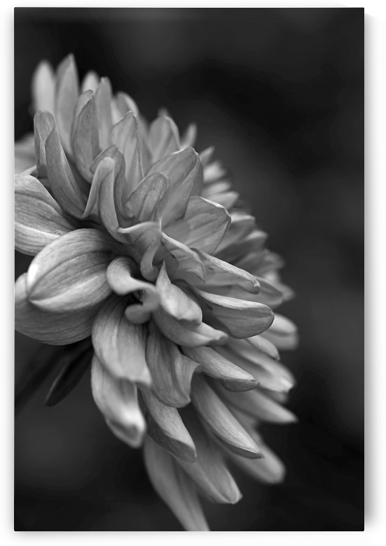 Dahlias Side Black and White by Joy Watson
