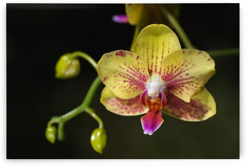 Green and Reddish Orchid by Joy Watson