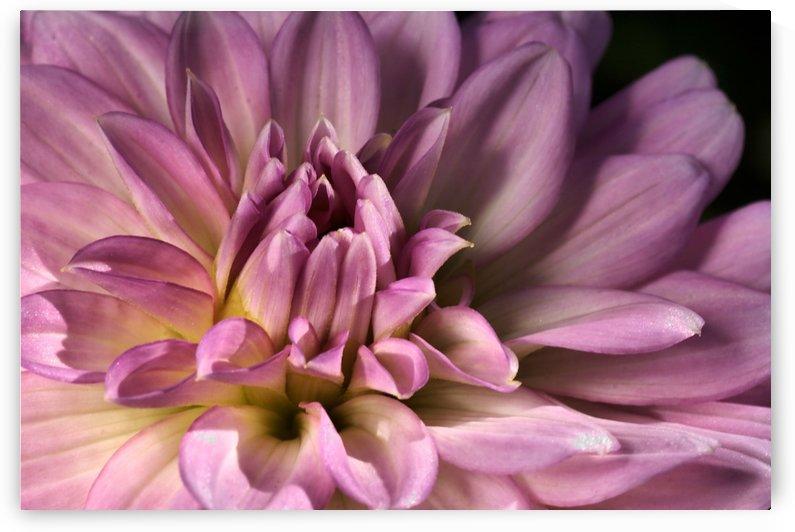 Pink Heart Dahlia by Joy Watson