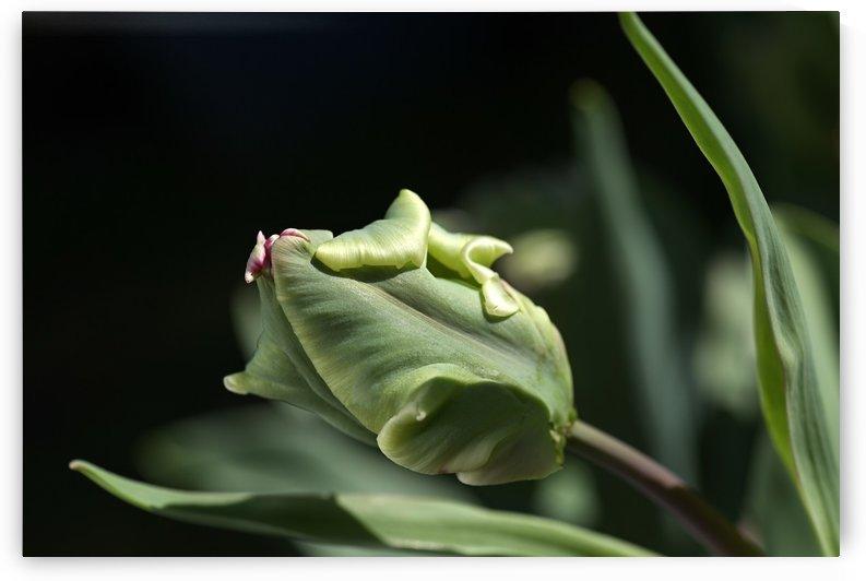 Parrot Tulip Bud  by Joy Watson