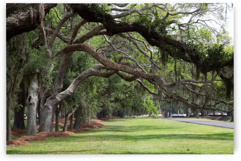 Line of Oaks Limbs Over Grassy Lane by Darryl Brooks