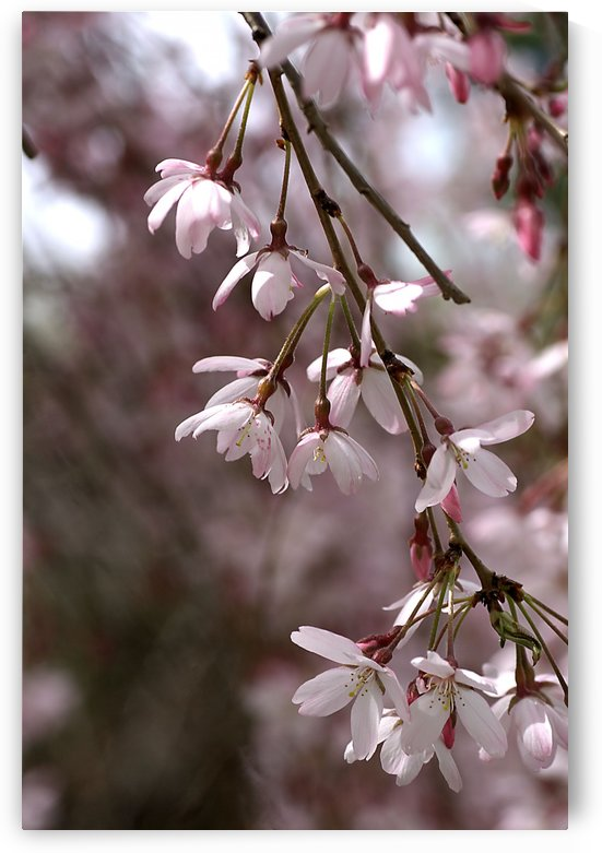 Weeping Cherry by Joy Watson