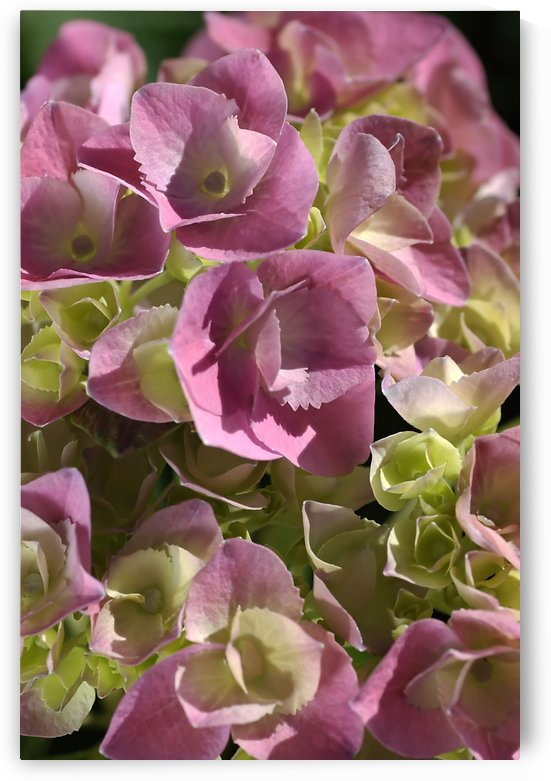 Hydrangea In Pink by Joy Watson