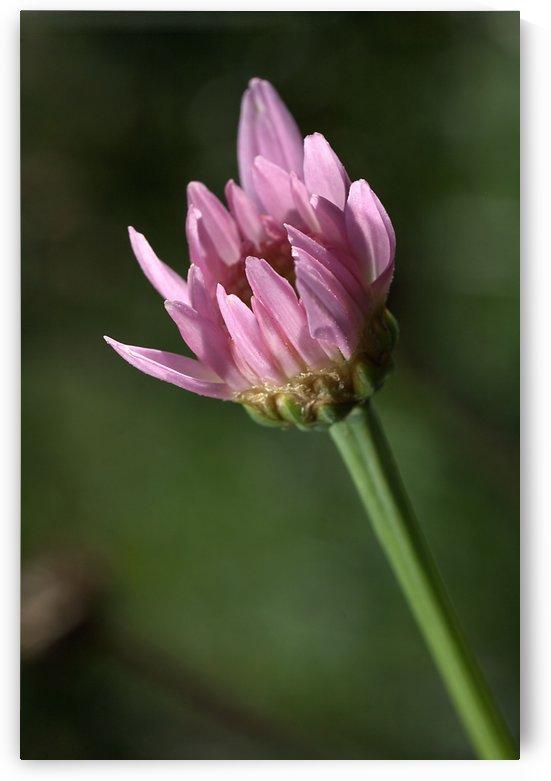 Pink Daisy Bud by Joy Watson