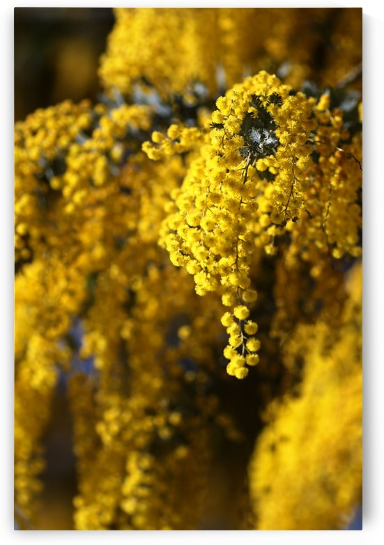 Wattle Tree In Flowers by Joy Watson