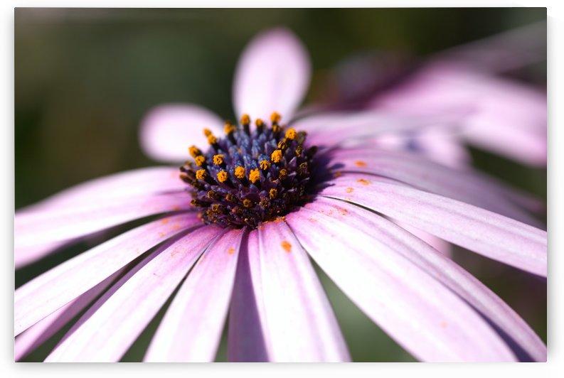 Daisy Pink by Joy Watson