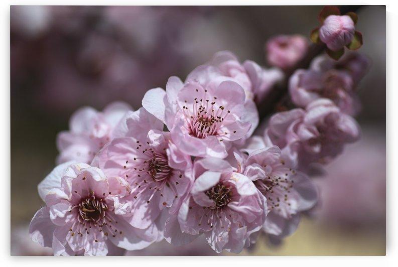 Pink Blossom by Joy Watson