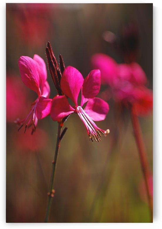 Gaura Flowers In Pink by Joy Watson