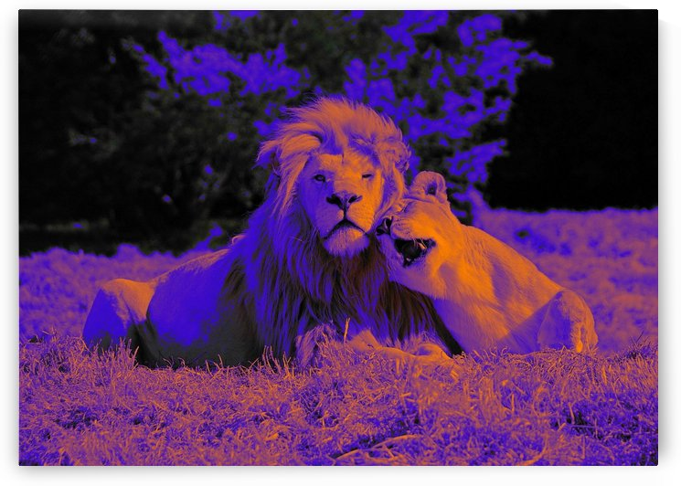 Lion Love  pop art by Thula-Photography