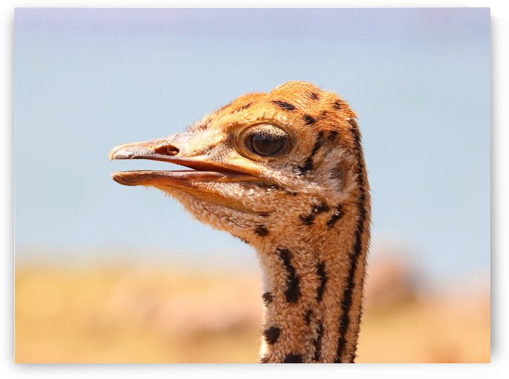 Baby Ostrich 5378 by Thula-Photography