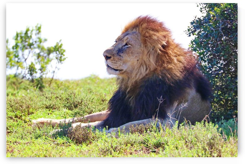 Lion Male in Addo 9240 by Thula-Photography