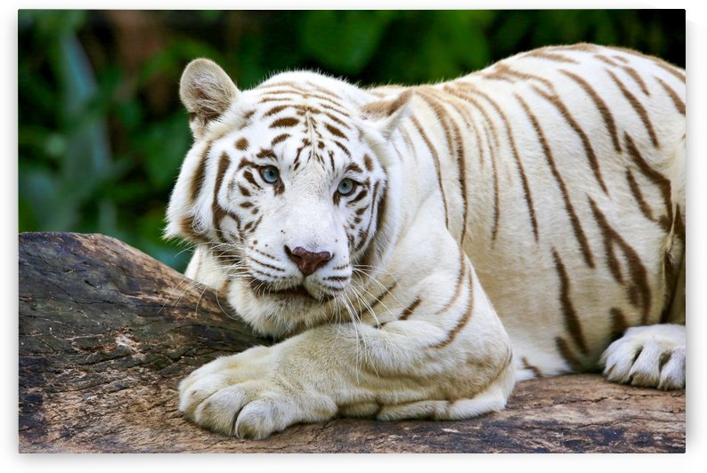 White Tiger  by Edwin De Smet